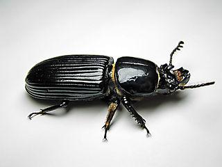 800px-Beetle-Bessbug